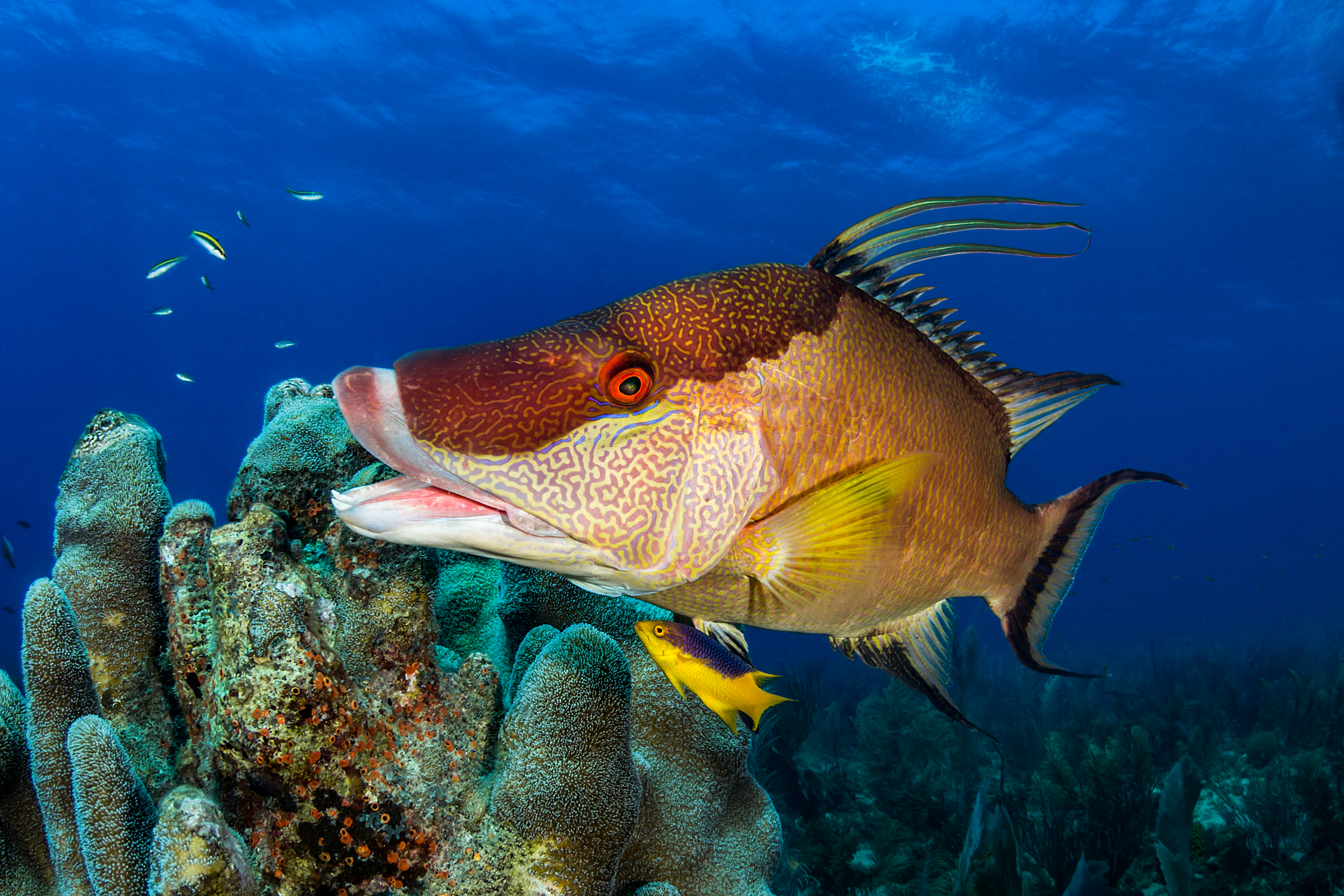 Hogfish in the coral reef